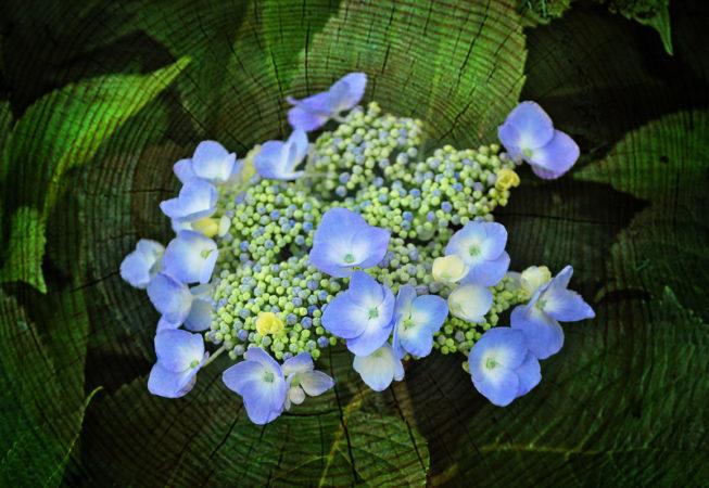 'Hydrangea Blooming' by Photographer Debbi Nelson.  © Copyright 2016 Debbi Nelson dba Photograzia